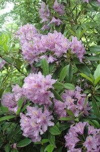 18 pacific rhododendron